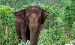 ELEFANTES BRASIL Elefanta de circo chileno vem ao santuário na Chapada dos Guimarães
