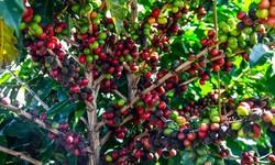 CAFÉ - Pesquisa CONAB indica queda da Produção Nacional