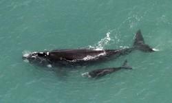 BALEIAS - Começou a temporada de nascimento de filhotes no litoral brasileiro